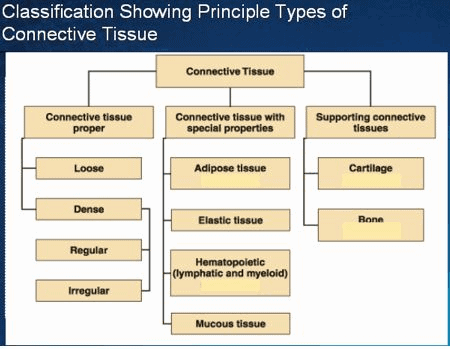 A classification of connective tissue